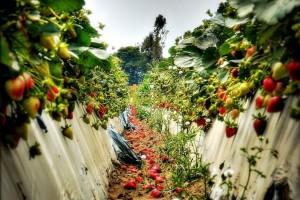 Strawberry-Field